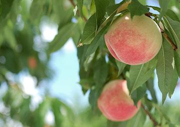 画像:桃狩り